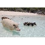 Bisa Berenang Bareng Babi di Bahama. Penasaran?