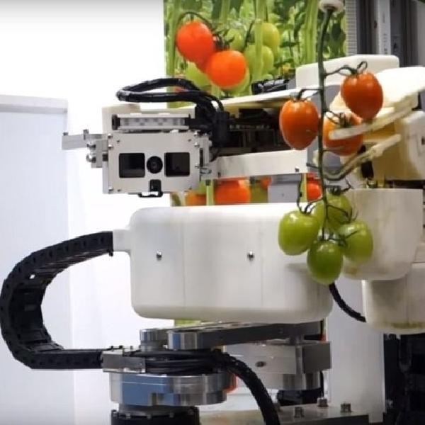 Panasonic Membangun Robot Pemetik Tomat yang Anggun